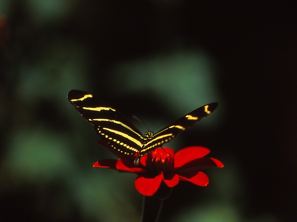 Zebra heliconian butterfly, photographed by Jeff Zablow at Kathleen GA