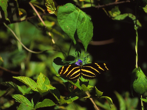Zebra heliconian butterfly sipping nectar, photographed by Jeff Zablow at Kathleen, GA