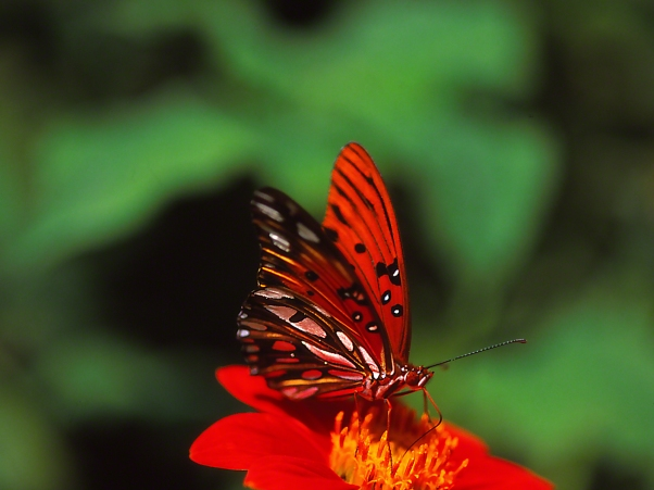 Gulf fritillary butterfly on Tithonia, photographed by Jeff Zablow at Kathleen, GA