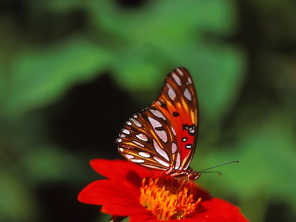 Gulf fritillary butterfly on Tithonia, photographed by Jeff Zablow at Kathleen, GA
