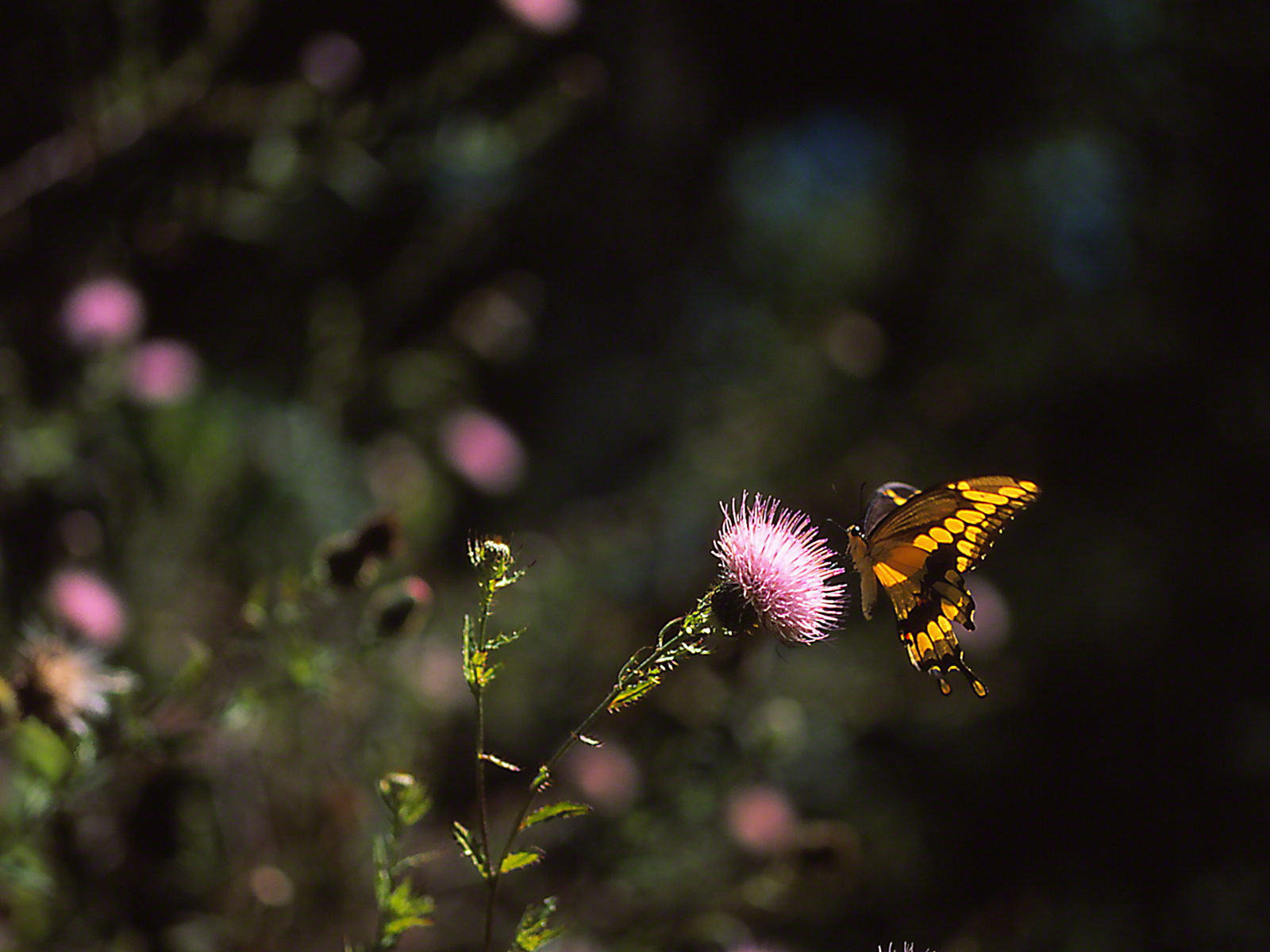 Giant swallowtail butterfly sipping nectar from thistle, photographed by Jeff Zablow at Wildlife Management Area, Kathleen, GA