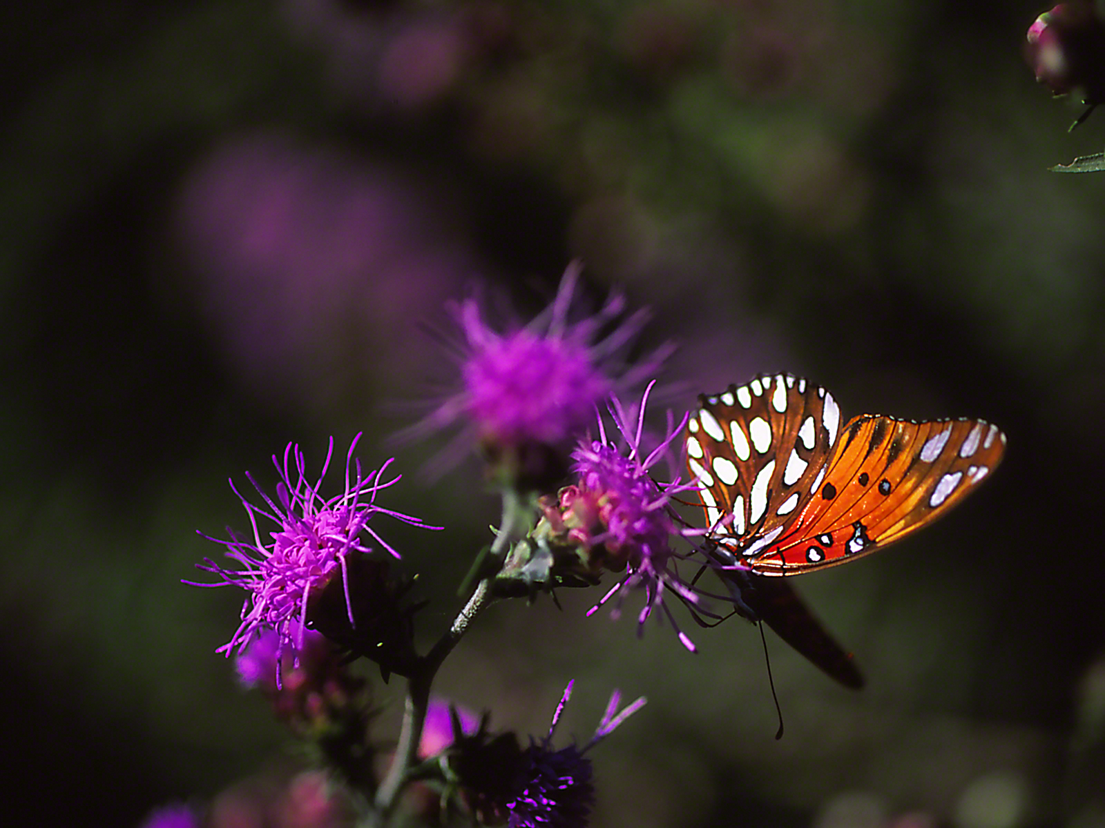 Gulf fritillary butterfly sipping nectar on thistle, photographed by Jeff Zablow at Wildlife Management Area, Kathleen, GA