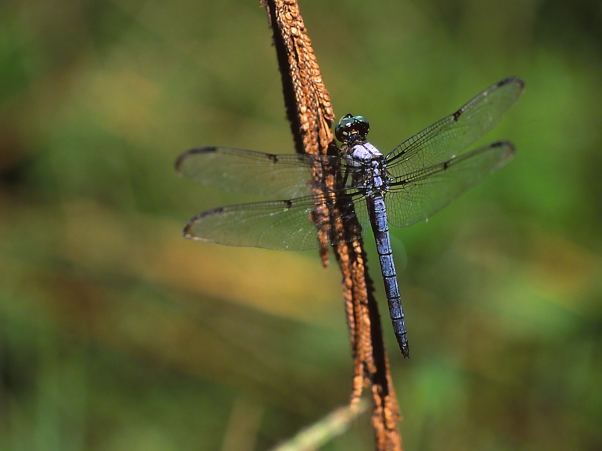 Dragonfly, photographed by Jeff Zablow at Wildlife Management Area, Kathleen, GA