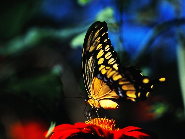 """Giant Swallowtail butterfly on tithonia, photographed by Jeff Zablow at """"Butterflies and Blooms in the Briar Patch,"""" Eatonton, GA"""