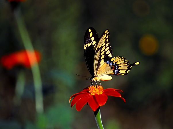 "Giant swallowtail butterfly on tithonia, photographed by Jeff Zablow at ""Butterflies and Blooms in the Briar Patch,"" Eatonton, GA"