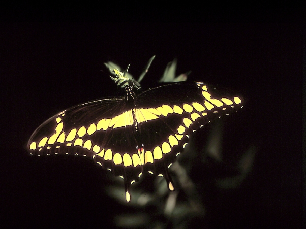 "Giant swallowtail butterfly, photographed by Jeff Zablow at ""Butterflies and Blooms in the Briar Patch,"" Eatonton, GA"