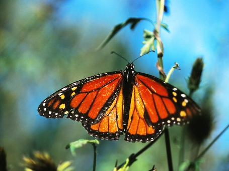 """Monarch butterfly (male, full dorsal)1, photographed by Jeff Zablow at """"Butterflies and Blooms in the Briar Patch,"""" Eatonton, GA"""