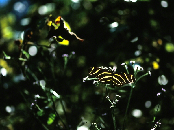 Zebra Heliconian butterfly, photographed by Jeff Zablow at Wildlife Management Area, Kathleen, GA