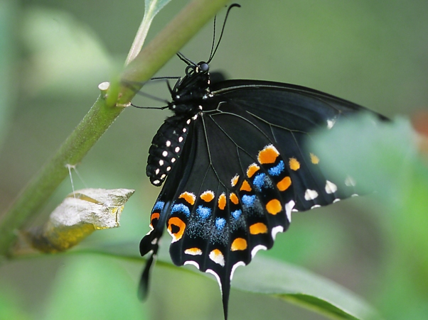 Black Swallowtail butterfly and chrysalis, photographed by Jeff Zablow at Butterflies and Blooms in the Briar Patch, Eatonton, GA