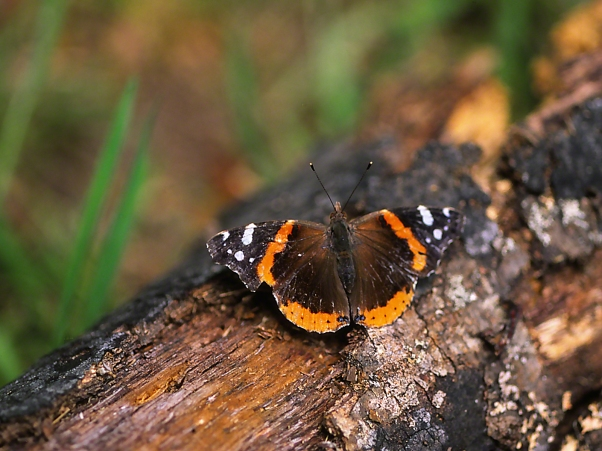 Red Admiral butterfly on log, photographed by Jeff Zablow at Shellman Bluff, GA