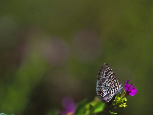 Eastern Pygmy Blue butterfly sipping nectar, photographed by Jeff Zablow at Shellman Bluff, GA