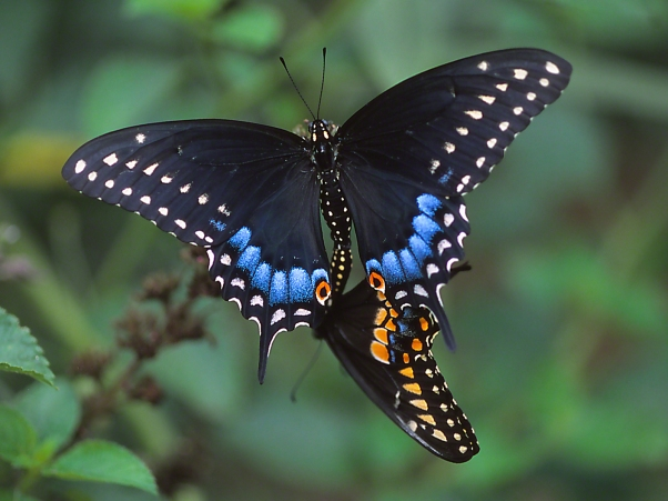 """Earring Series - Blackswallowtail butterflies coupled, photographed by Jeff Zablow at """"Butterflies and Blooms in the Briar Patch,"""" Eatonton, GA"""
