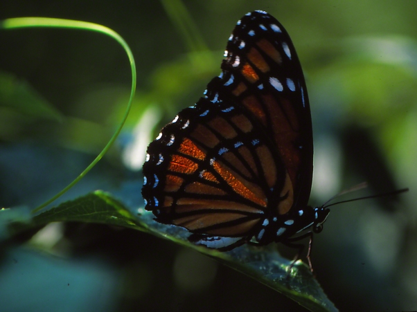 "Viceroy Butterfly at rest (right side), photographed by Jeff Zablow at ""Butterflies and Blooms in the Briar Patch,"" Eatonton, GA"