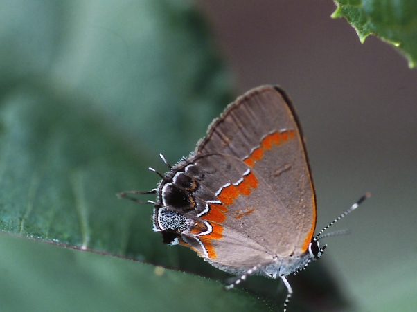 """Red-Banded Hairstreak butterfly, photographed by Jeff Zablow at """"Butterflies and Blooms in the Briar Patch,"""" Eatonton, GA"""
