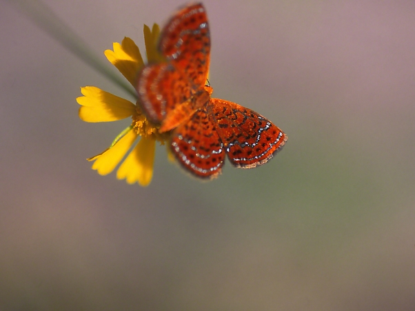 Little Metalmark butterfly on bloom, photographed by Jeff Zablow at Shellman Bluff, GA