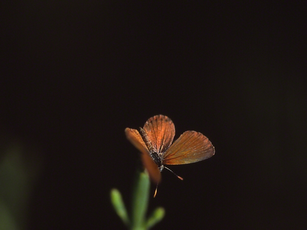 Little Metalmark butterfly at rest, photographed by Jeff Zablow at Shellman Bluff, GA