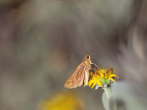 Rare Skipper, photographed by Jeff Zablow at Brunswick, GA