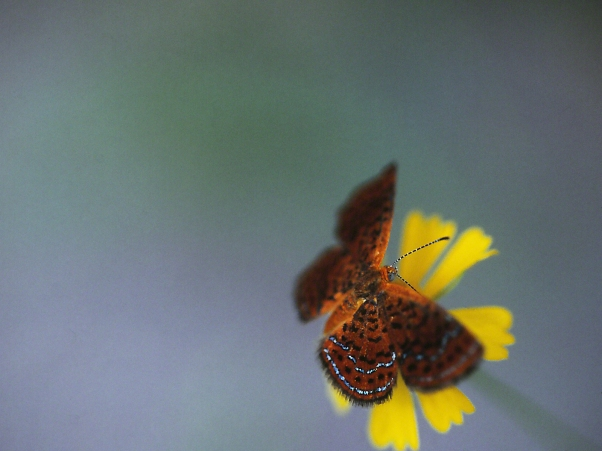 Little Metalmark butterfly, photographed by Jeff Zablow at Shellman Bluff, GA