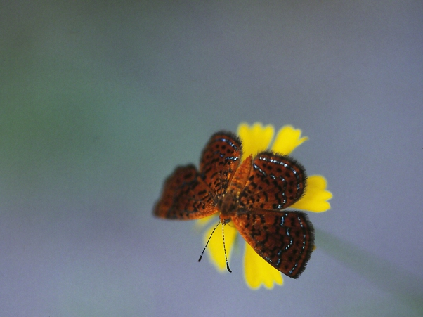 Little Metalmark butterfly, photographed by Jeff Zablow at Shellman Bluff, GA