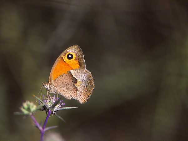 Maniola Telmessia butterfly (female) photographed by Jeff Zablow at Mt. Meron, Israel