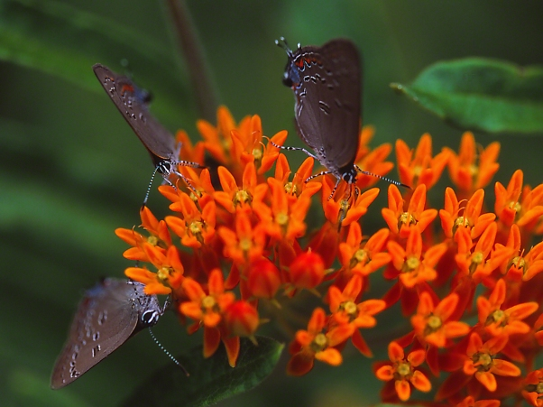 Edwards Hairstreak Butterflies on Butterflyweed photographed by Jeff Zablow at Lynx Prairie, Ohio