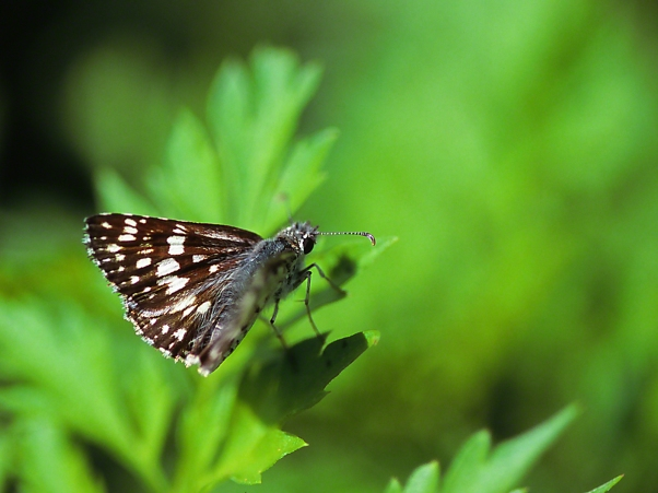 Checkered Skipper butterfly photographed by Jeff Zablow at Butterflies and Blooms in the Briar Patch Habitat, GA