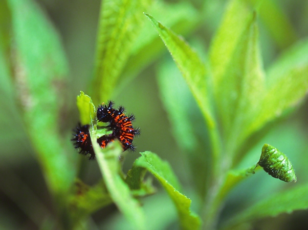 Baltimore Checkerspot Caterpillar photographed by Jeff Zablow at Jamestown Audubon Center, NY