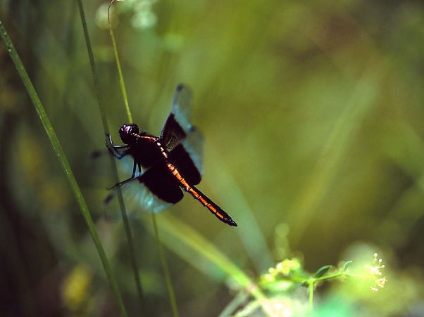 Darner at rest photographed by Jeff Zablow at Lynx Prairie, OH