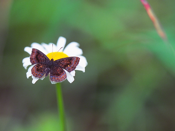 Northern Metalmark Butterfly on Oxe-eye Daisy photographed by Jeff Zablow at Lynx Prairie, OH