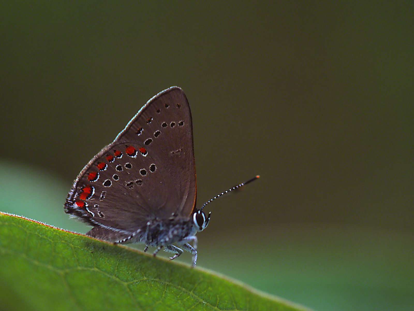 Coral Hairstreak Butterfly on Oxe-eye Daisy photographed by Jeff Zablow at Lynx Prairie, OH
