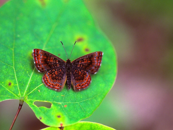 Northern Metalmark Butterfly at rest photographed by Jeff Zablow at Lynx Prairie, OH