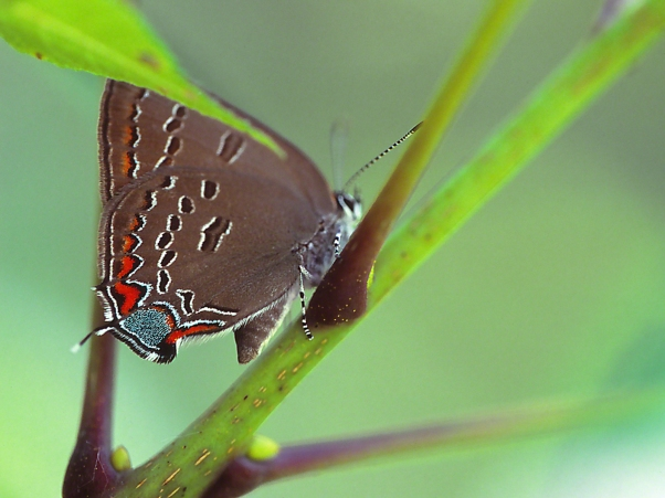 Edwards Hairstreak Butterfly photographed by Jeff Zablow at Lynx Prairie, OH