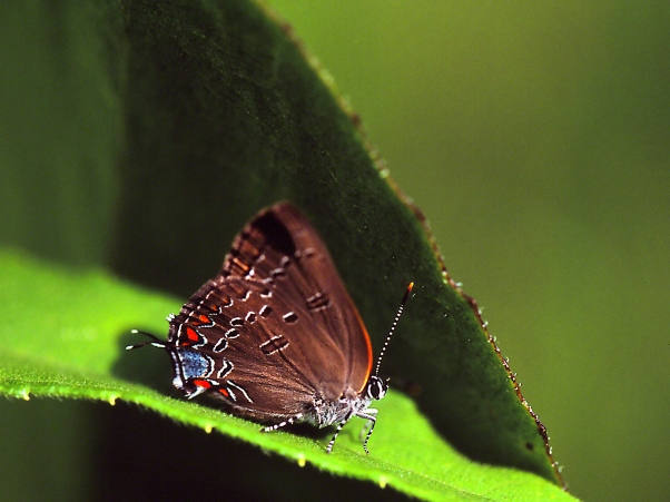 Edwards Hairstreak Butterfly on Leaf photographed by Jeff Zablow at Lynx Prairie, OH