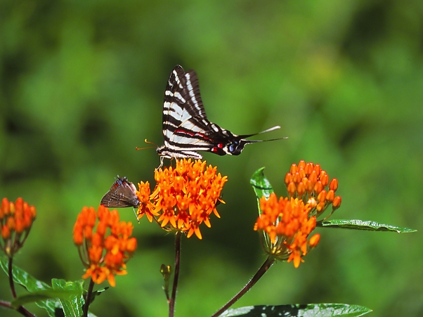 Zebra Swallowtail Butterfly and Edwards Hairstreak on Butterflyweed photographed by Jeff Zablow at Lynx Prairie Reserve, Ohio