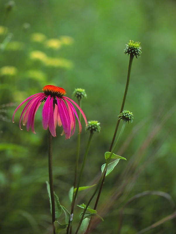 Coneflower photographed by Jeff Zablow at Lynx, Prairie Reserve, Ohio