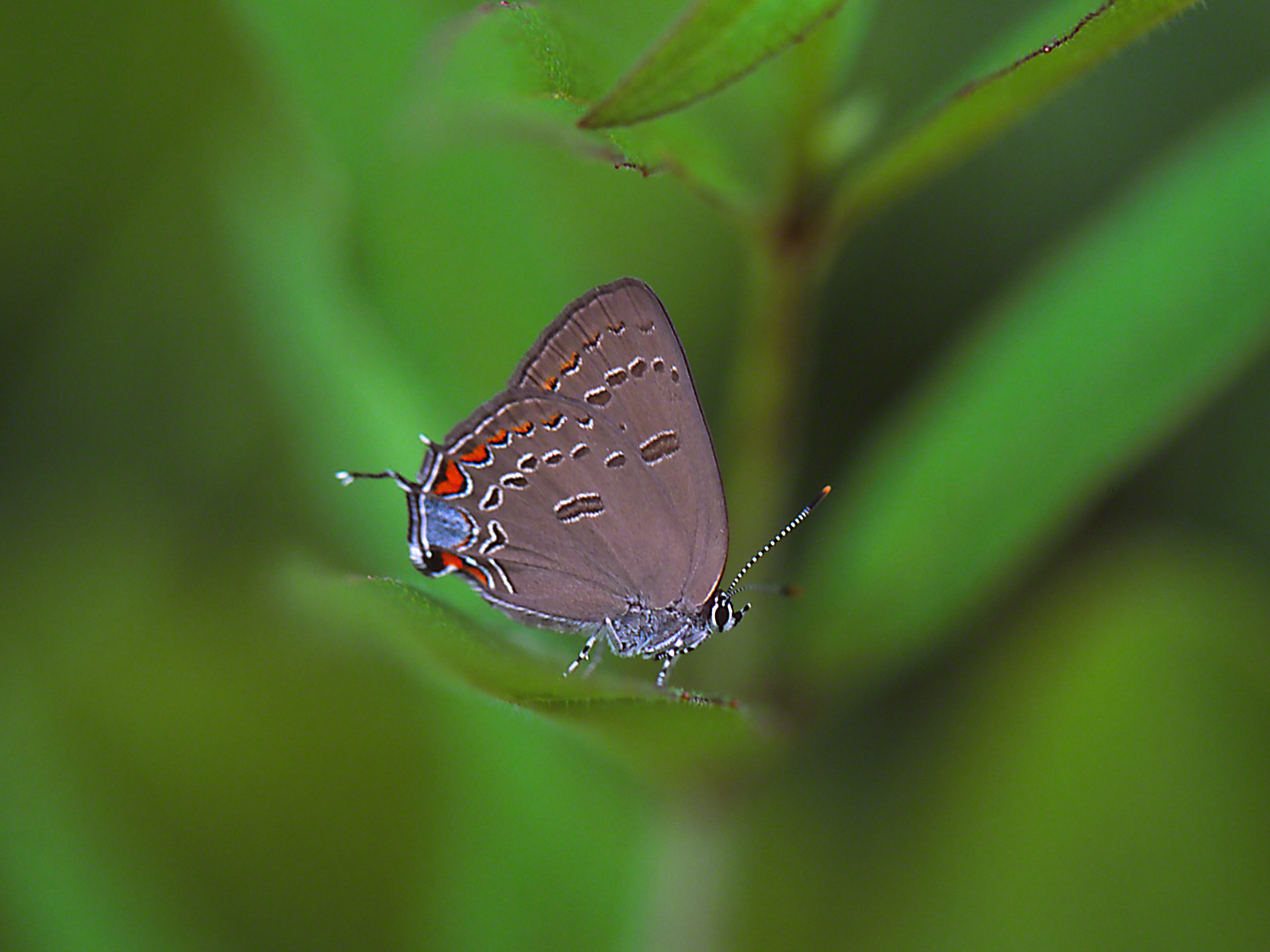 Edward Hairstreak Butterfly (Full ventral) photographed by Jeff Zablow at Lynx Prairie Reserve, Ohio