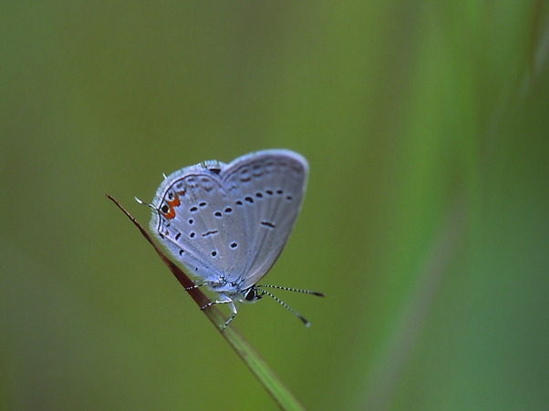 Eastern-Tailed Blue Butterfly II photographed by Jeff Zablow at Lynx Prairie Reserve, Ohio