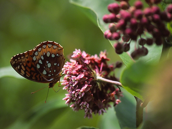 Great Spangled Fritillary Butterfly on Common Milkweed II photographed by Jeff Zablow at Lynx Prairie Reserve, Ohio