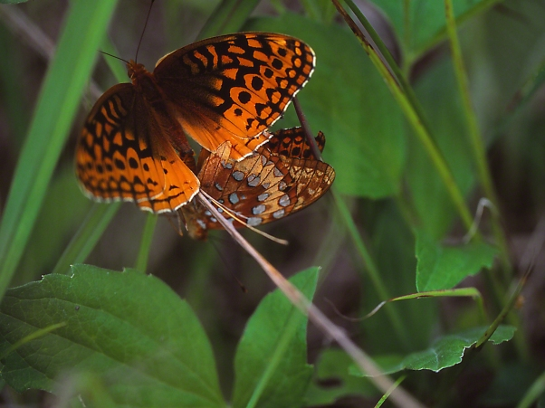Coupled Great Spangled Fritillary Butterflies photographed by Jeff Zablow at Kamama Prairie Reserve, Ohio