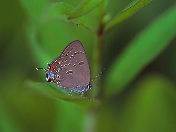 Edwards Hairstreak photographed by Jeff Zablow at Lynx Prairie Reserve, Ohio