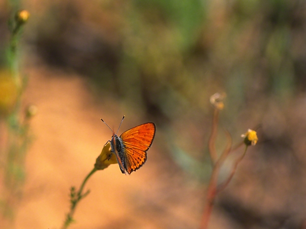 Copper Butterfly photographed by Jeff Zablow at Neve Ativ, Israel