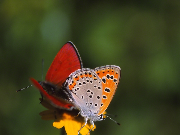Coupled Lycaena Thersamon Butterflies photographed by Jeff Zablow in Neve Ativ, Israel