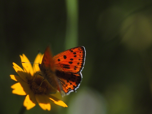 Lycaena Thersamon Butterfly Nectaring photographed by Jeff Zablow at Neve Ativ, Israel