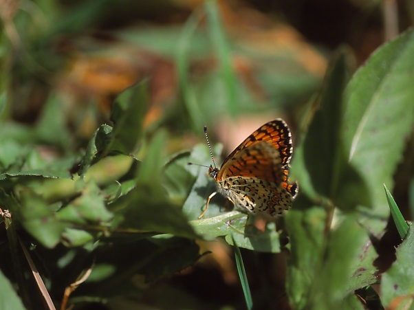 Fritillary Butterfly photographed by Jeff Zablow at Iron Falls, Metullah, Israel