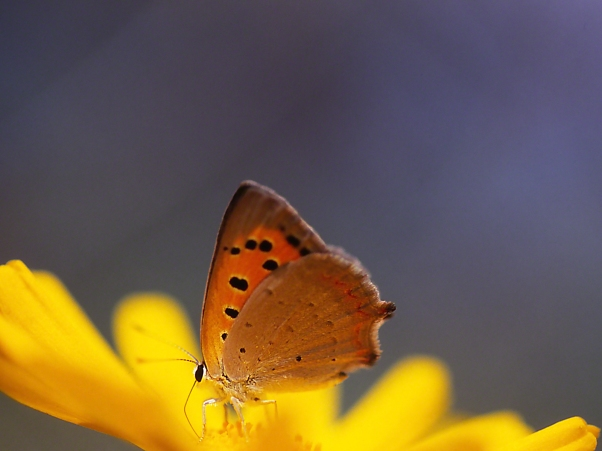 Lycaena Phlaes Butterfly photographed by Jeff Zablow at Neve Ativ, Israel