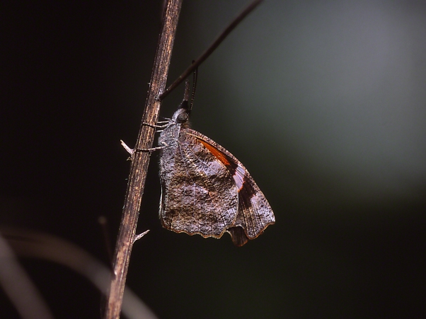 American Snout Butterfly photographed by Jeff Zablow at Habitat, Eatonton, Georgia