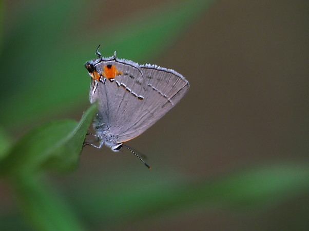 Gray Hairstreak Butterfly photographed by Jeff Zablow at Habitat, Eatonton, Georgia