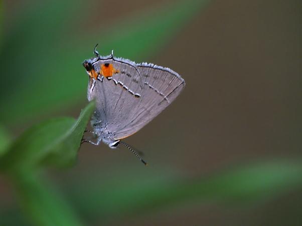 Gray Hairstreak Butterfly photographed by Jeff Zablow at Habitat, Eatonton, Georgia