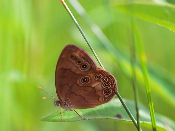 Appalachian Brown Butterfly II photographed by Jeff Zablow at Prairie Fen Reserve, Ohio