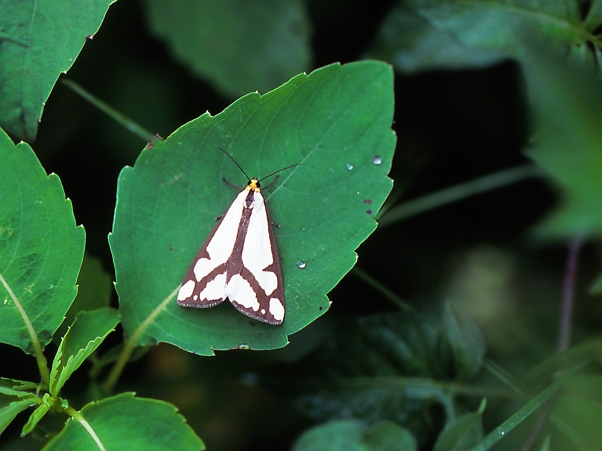 Moth photographed by Jeff Zablow at Prairie Road Fen Reserve, Ohio